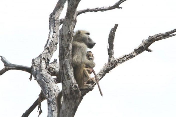 baboon 19