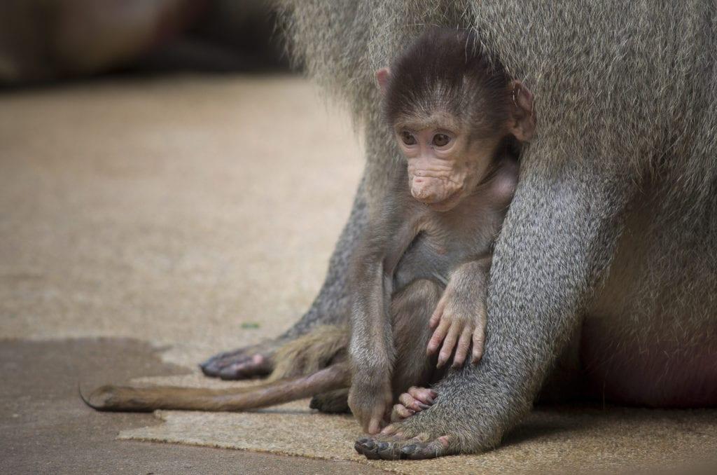 baboon 18
