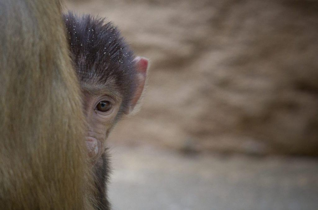 baboon 17