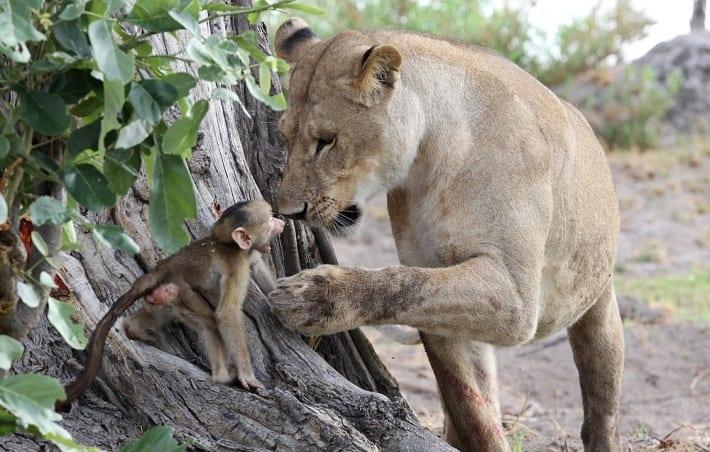 baboon 10