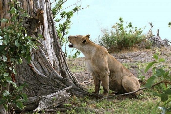 baboon 8