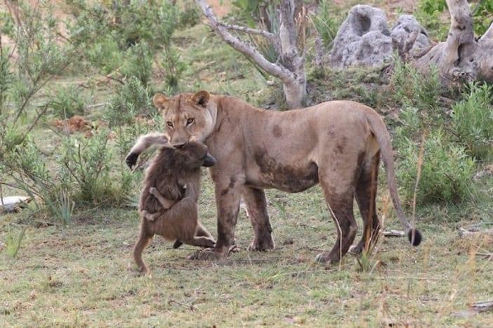 baboon 7