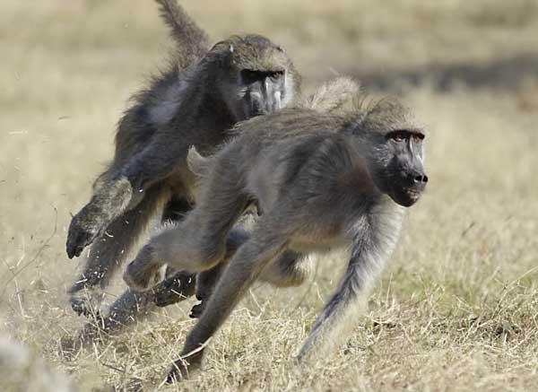 baboon 28