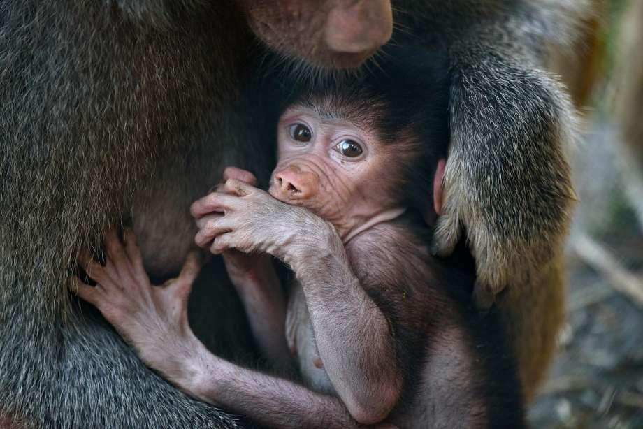 baboon 29