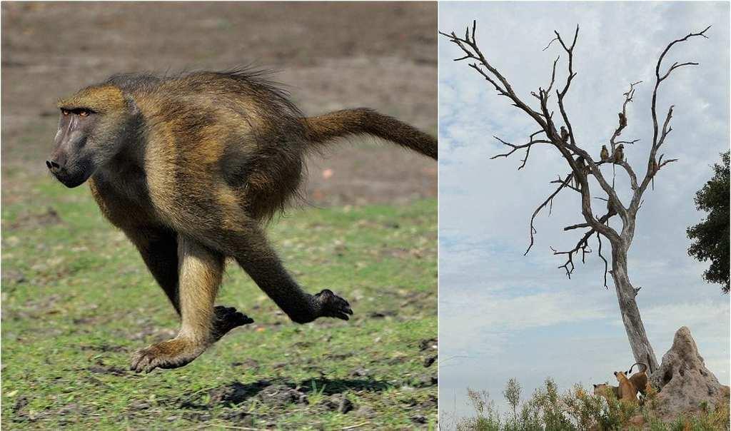 baboon 34