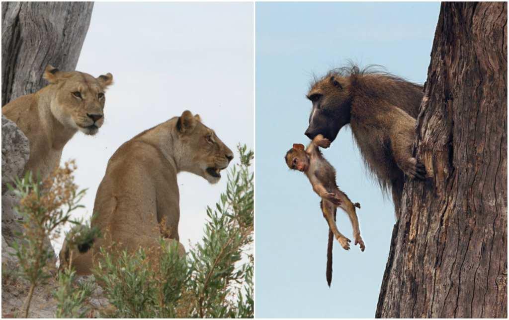 baboon 51