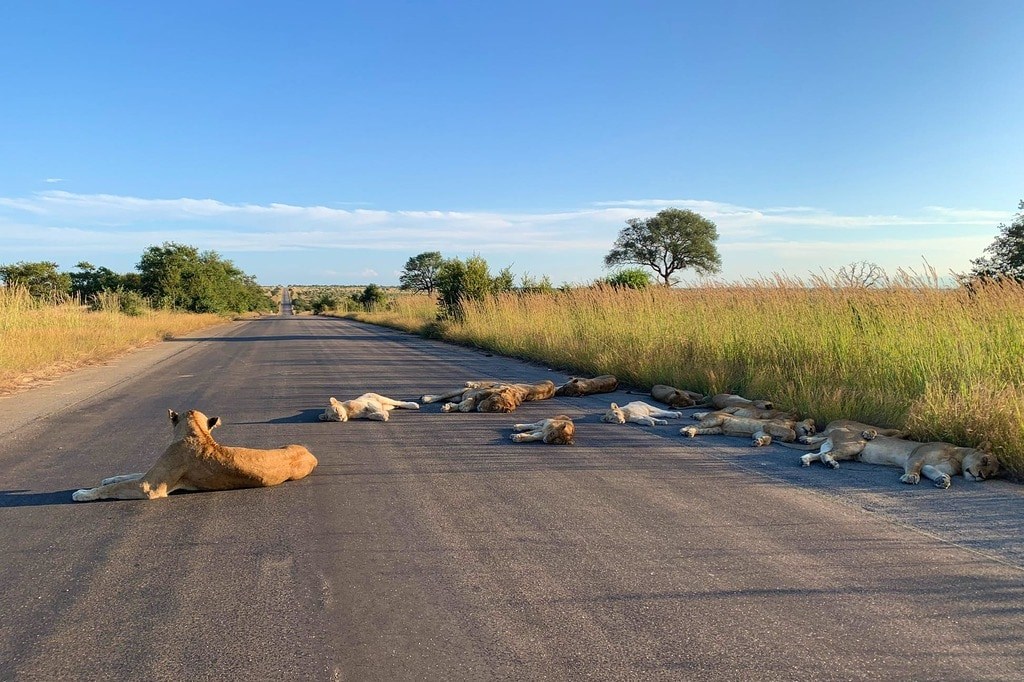 Lions lying in the middle of a road at Kruger National Park